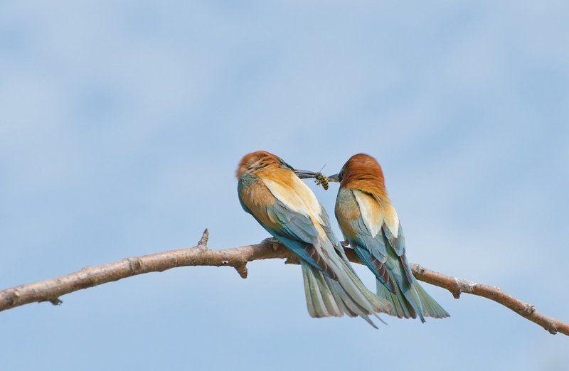 золотистые щурки птицы Весенний уговорphoto preview