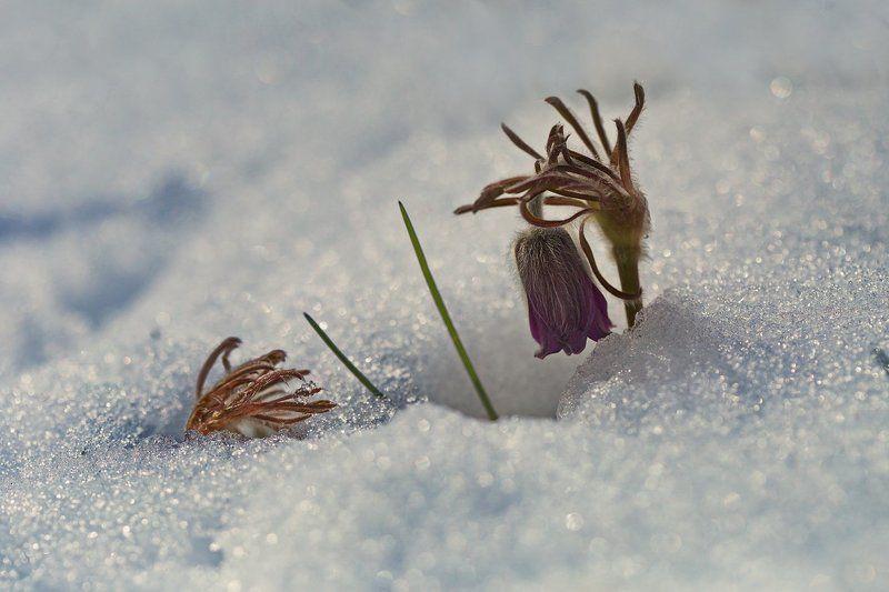 pratensis, pulsatilla, лесопарк дружбы народов, луговой, прострел, чернеющий, сон-трава Апрельский зимний сонphoto preview