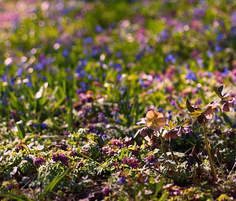 Spring Primrosesphoto preview