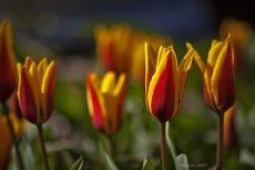 Первые парковые тюльпаны