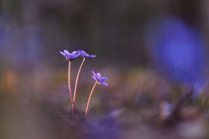 цветы, природа Лесные цветыphoto preview