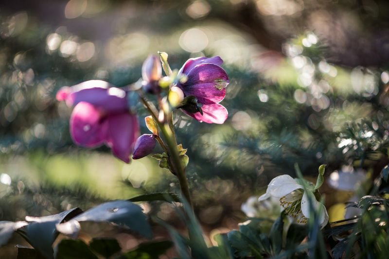 природа, макро, весна, цветы, морозник Триптихphoto preview