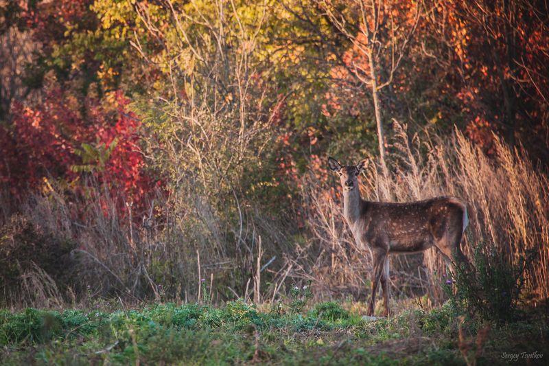 животные, лес, олень, олени, осень Осенняяphoto preview