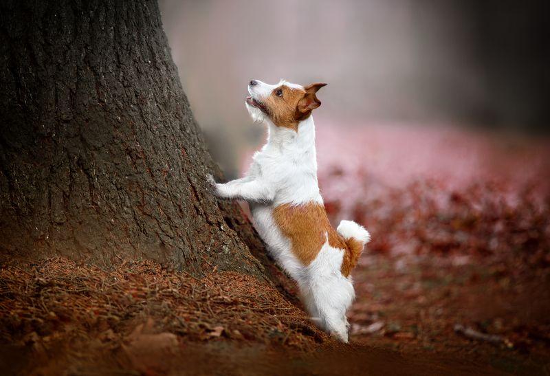 собака, осень, парк, джек рассел белка ау...photo preview