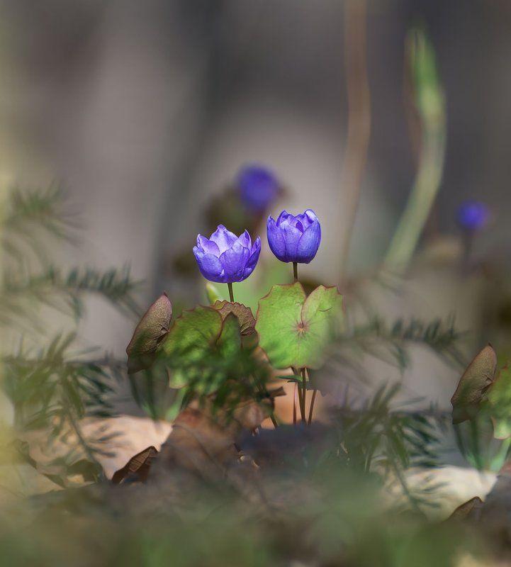 джефферсония сомнительная, цветы, приморский край ***photo preview
