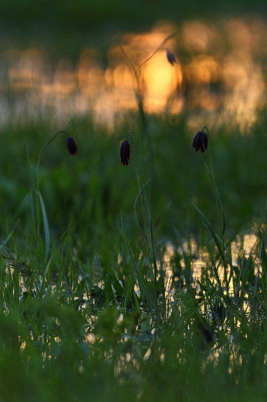 рябчик, малый, fritillaria, meleagroides, самарский лес Заливные лугаphoto preview
