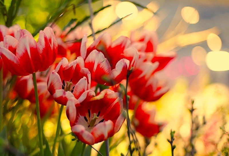 тюльпаны, tulips Flaming Tulipsphoto preview