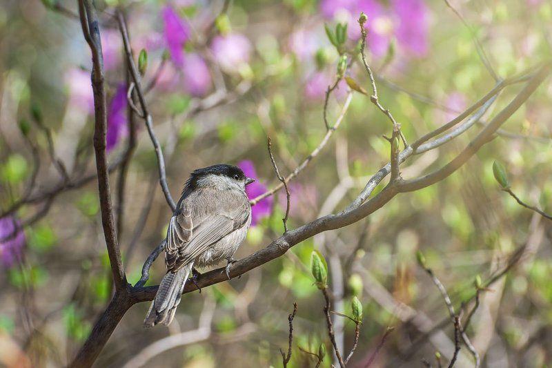 синица гаичка, приморский край, весна, птицы Под теплыми лучамиphoto preview