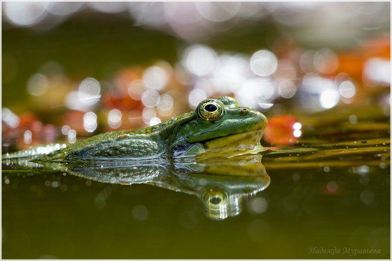 озёрная лягушка, pelophylax ridibundus Мечты...photo preview