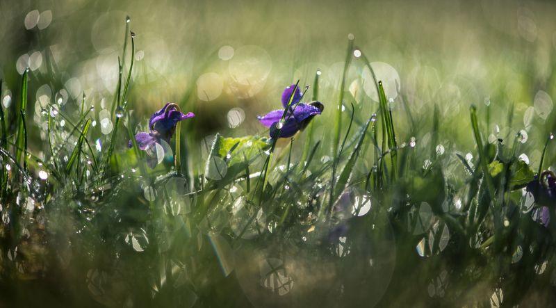 природа, макро, весна, цветы, фиалка, трава, роса, боке Калейдоскопphoto preview