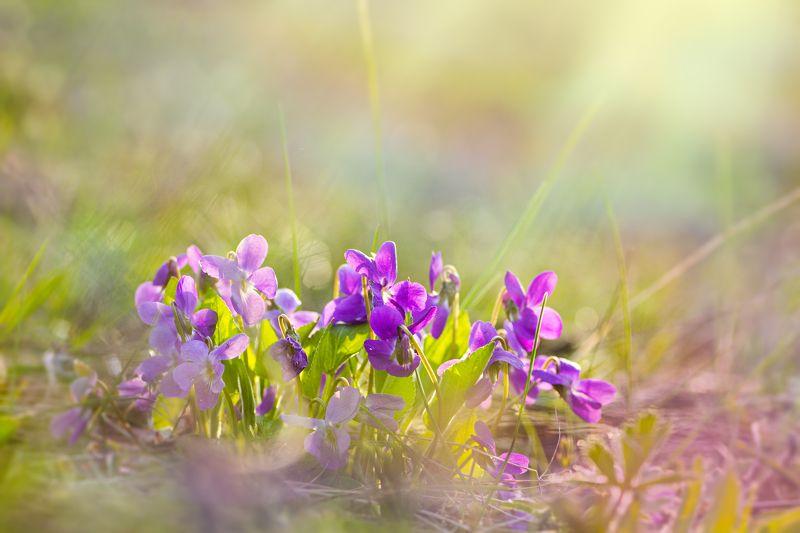 цветы, фиалки, свет, радуга, блики, весна Разный взглядphoto preview