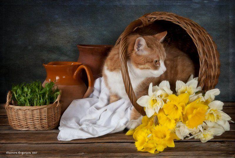 натюркотики, натюрморт, весна, рыжая кошка, нарциссы, корзинка Рыжая Кошка ждёт веснуphoto preview