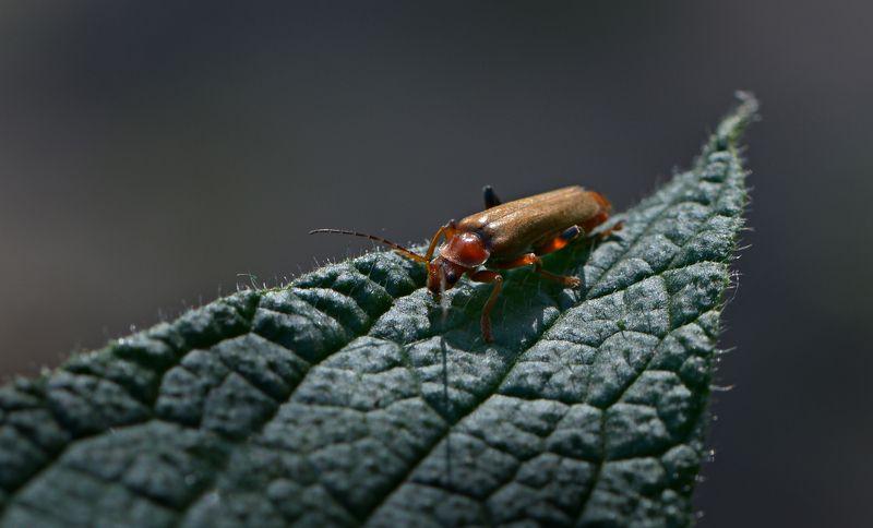 природа, макро, насекомое, мягкотелка Ночной дилижансphoto preview