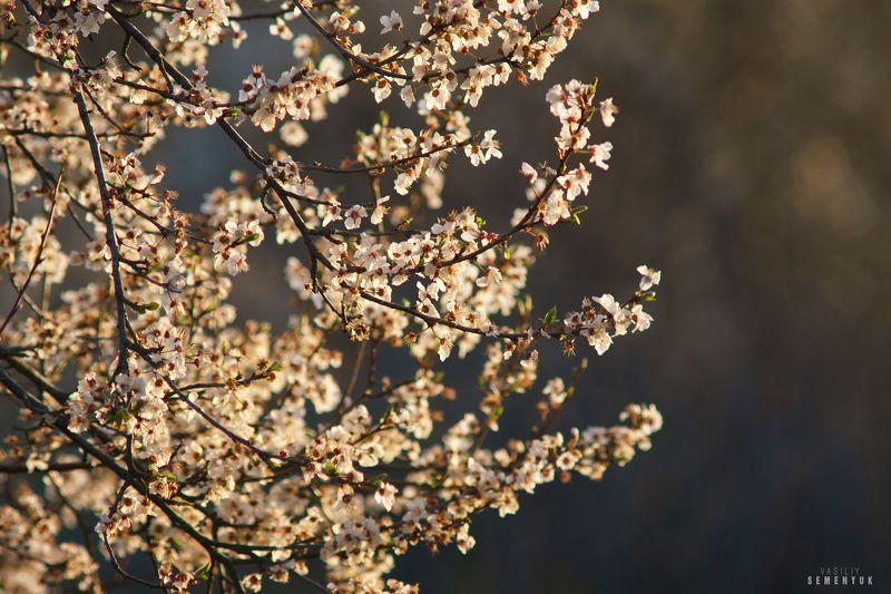 крым, весна, цветущие абрикосы, цветы, делевья, закат. Цветы Весны.photo preview