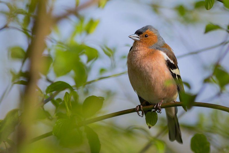Common chaffinch, bird, wildlife Common chaffinchphoto preview