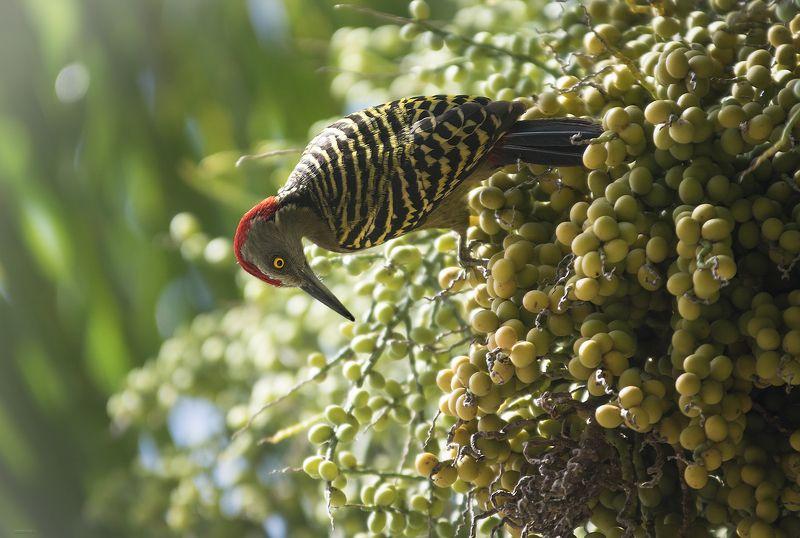природа, лес, животные, птицы, доминикана Красавчикphoto preview