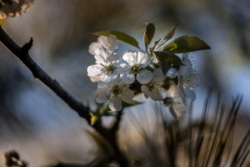 природа, макро, весна, цветы, вишня Перед грозойphoto preview