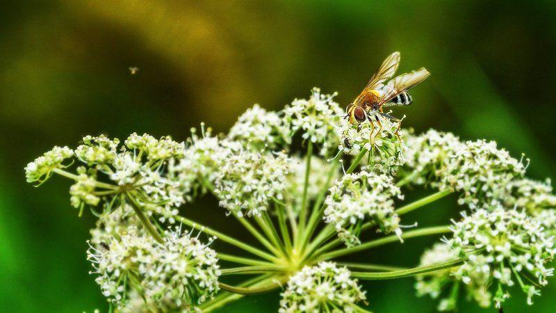 макро, насекомые, цветы, полевые  За сладким! photo preview