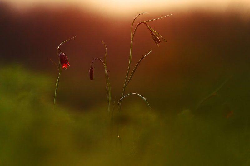 рябчик, малый, fritillaria, meleagroides, самарский лес Рябчикиphoto preview