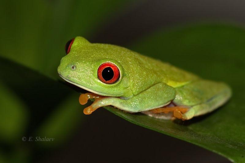 agalychnis callidryas,frog,red-eyed tree frog,амфибии,квакша,красноглазая квакша,лягушка В ожидание принца .photo preview