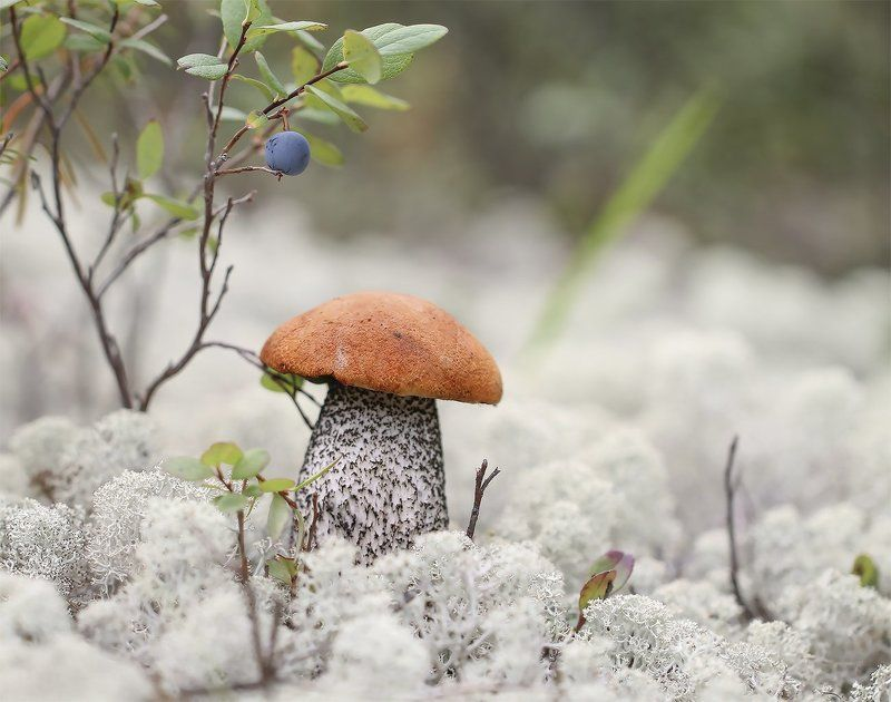 подосиновик, якутия, нерюнгри, голубика, мох, ягель Соседиphoto preview