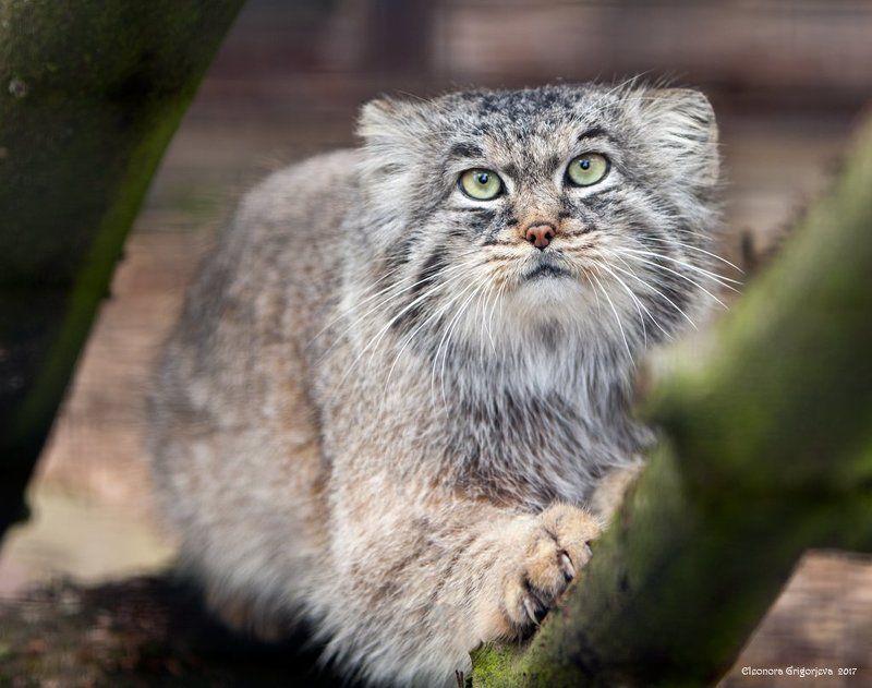 манул, кот, зоопарк, рижский зоопарк, зоологический сад Манулphoto preview