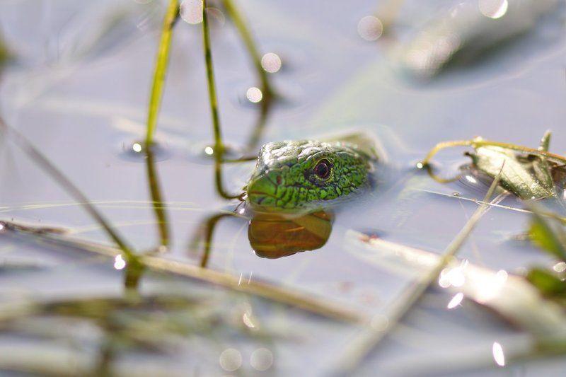 ящерица, прыткая, lacerta, agilis, самарский лес Макрокодилыphoto preview