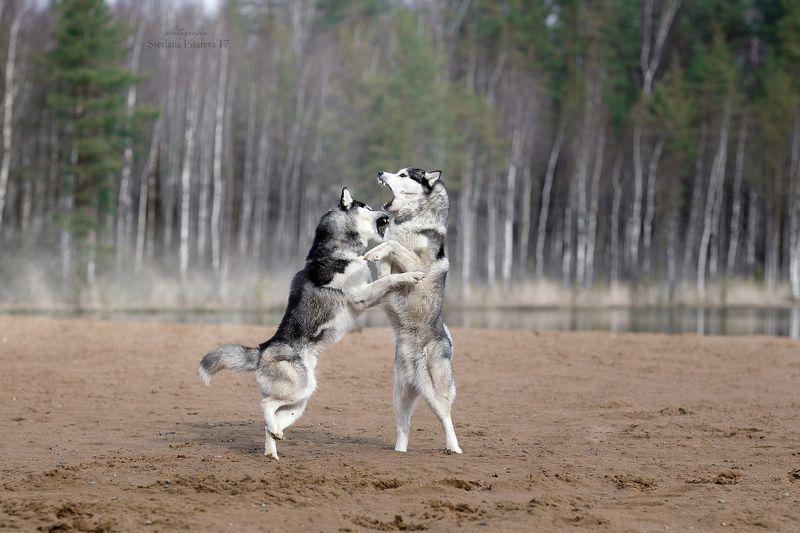 собаки, хаски, драка, озеро, лес, весна Выясняют отношения:))))photo preview