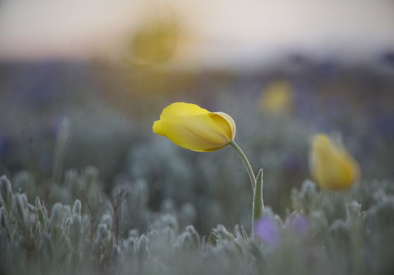 пейзаж, макро,тюльпан,Шренка,дикий,туман,опук,крым,трава,желтый,зеленый,поле,россия Дикий тюльпан Шренкаphoto preview