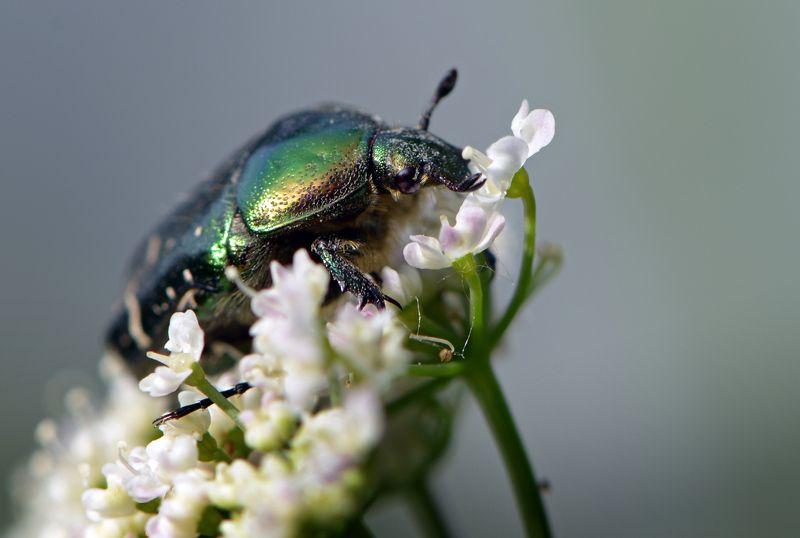 природа, макро, весна, насекомое, жук, бронзовка, Белый майphoto preview