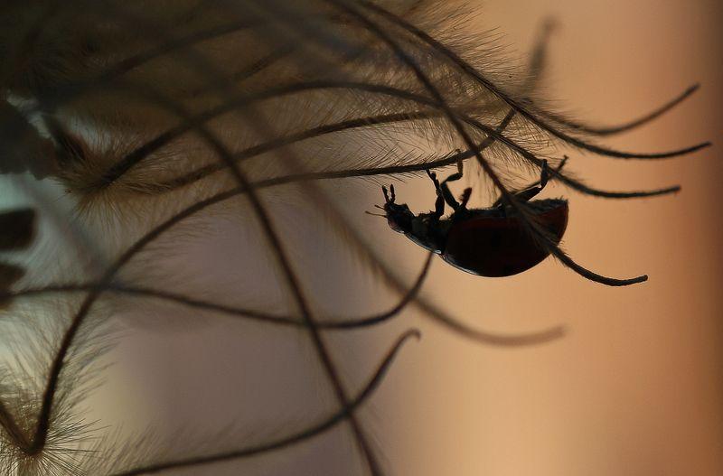 природа, макро, зима, оттепель, насекомое, жук, божья коровка Арабские ночиphoto preview