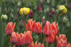 Тюльпановый этюд