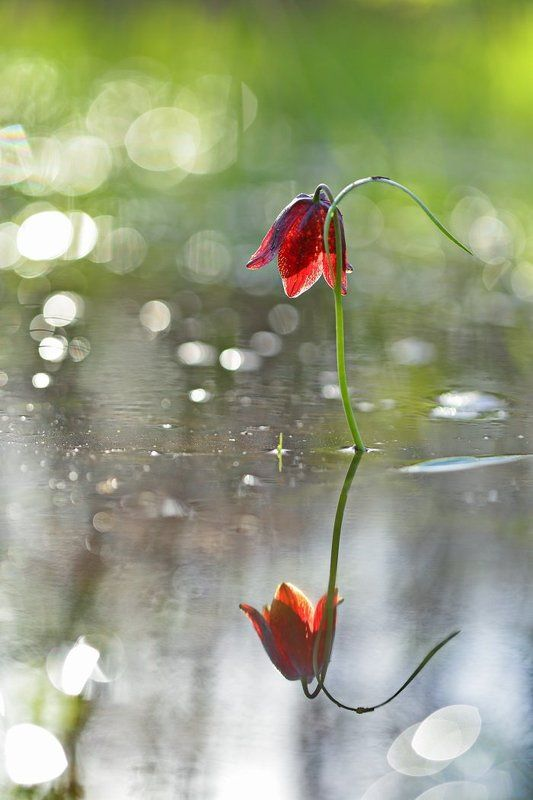 рябчик, малый, fritillaria, meleagroides, самарский лес Аленький цветочекphoto preview