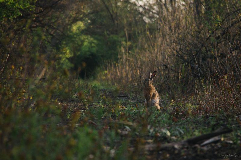 Заяц, животные, природа, hare Наблюдательphoto preview