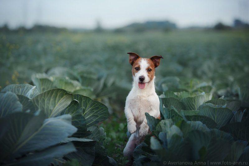 собака, капуста, лето В капустеphoto preview