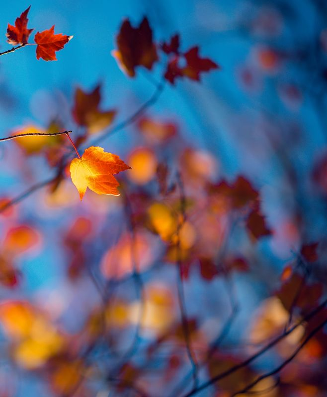leaf, autumn, sunlight, red, colours, blue, red lightening the leafphoto preview