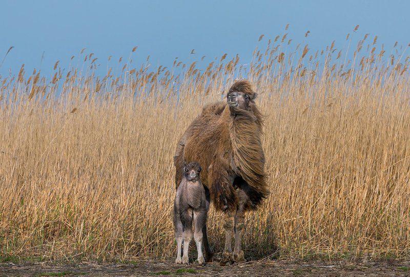 верблюд, степь, весна, астраханская область, животные, малыш, камыш, тросник, Верблюжонок с мамой, или семейный портрет.photo preview
