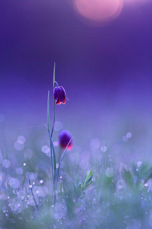 рябчик, малый, fritillaria, meleagroides, самарский лес Холодный рассветphoto preview