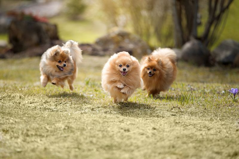 шпицы, собаки, весна, природа Весенняя банда:)))photo preview