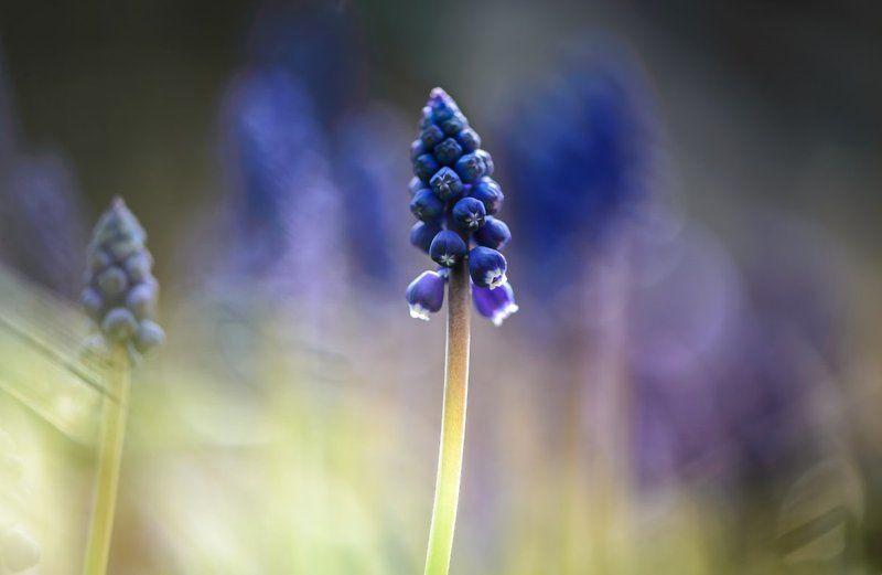 природа, макро, весна, цветы, мускари Дистанцияphoto preview