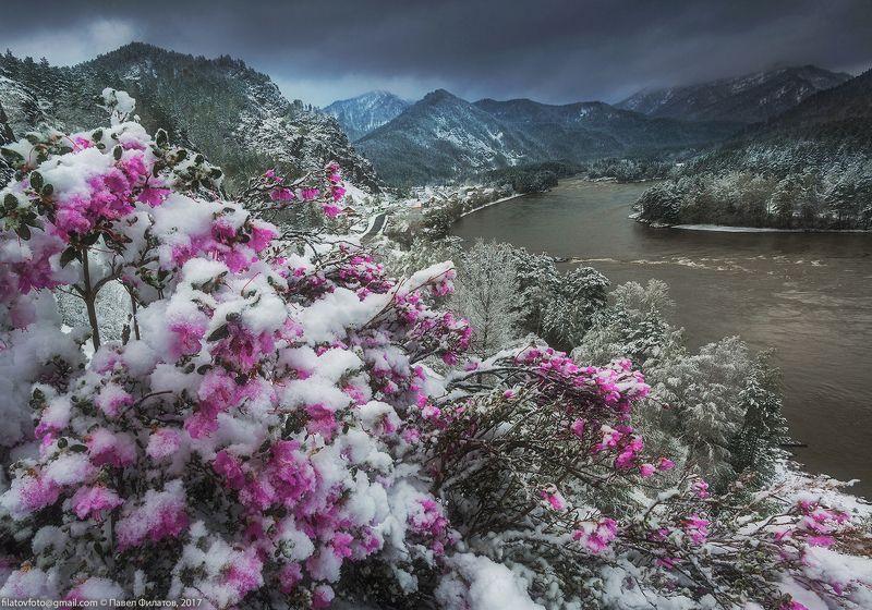 #алтай_чудеса_природы #алтай #сибирь #siberia #павел_филатов #pavel_filatov #filatovpavelaltai #маральник #снег #май #рододендрон_ледебура  #весна #altai #snow #rhododendron #spring Сибирская сакураphoto preview