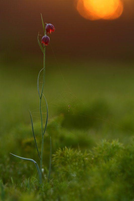 рябчик, малый, fritillaria, meleagroides, самарский лес Закатный диптихphoto preview