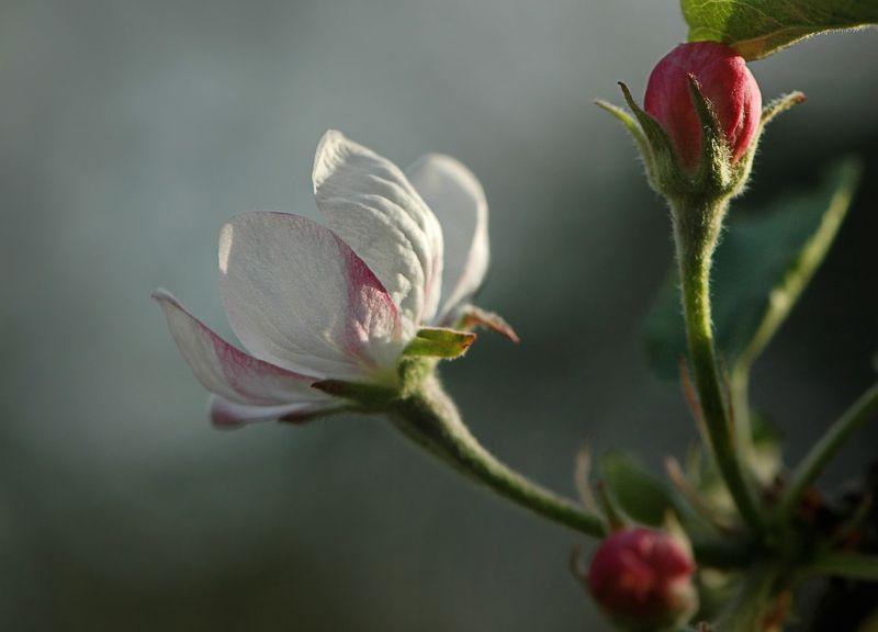 природа, макро, весна, цветы яблони Лучше нету того цвету...photo preview