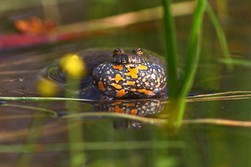 краснобрюхая, жерлянка, bombina, fire-bellied toad, кумка, червоночерева, самарский лес Кумкаphoto preview