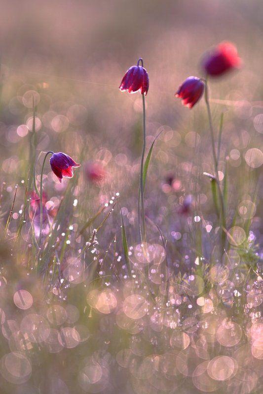 рябчик, малый, fritillaria, meleagroides, самарский лес В утренней росеphoto preview