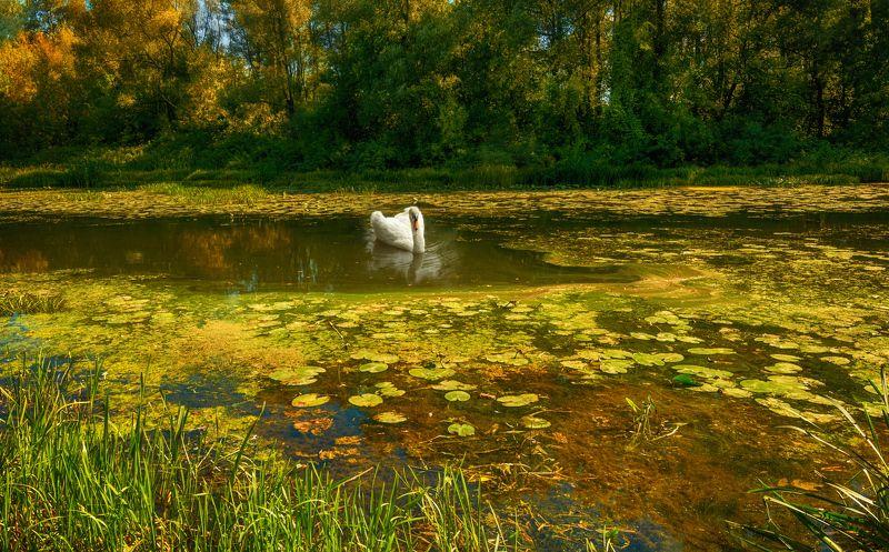 landscape, nature, природа, пейзаж, деревья, пруд, вода, лебедь, птица, на прудуphoto preview