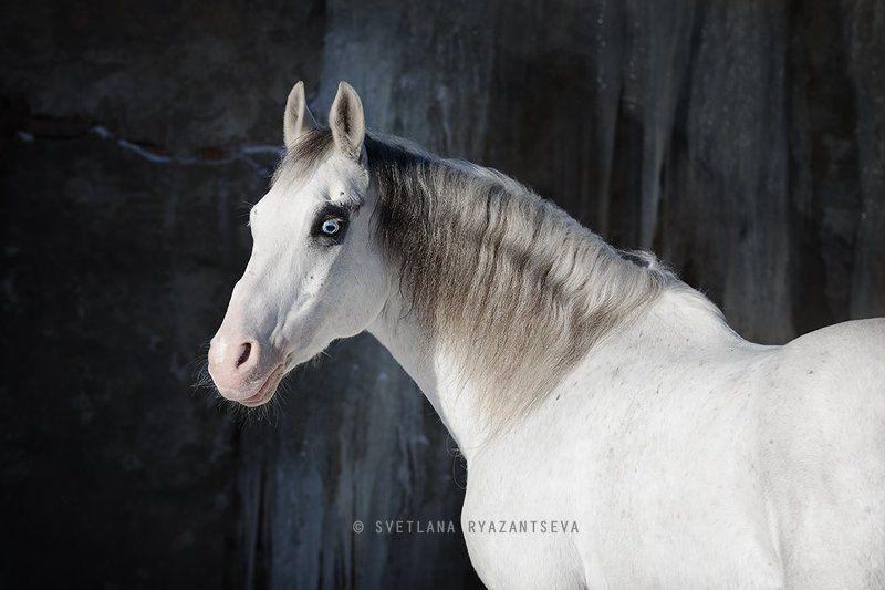 horse, white, grey, portrait, портрет, лошадь, лошади awesomephoto preview