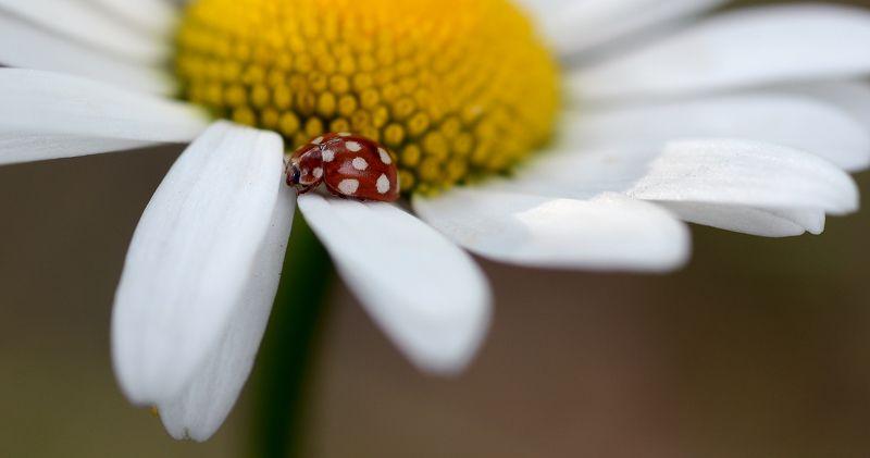 природа, макро, цветы, ромашка, насекомое, жук, божья коровка, кальвия четырнадцатипятнистая, До, ре, ми...photo preview