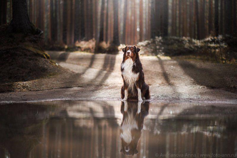 собака, лес, природа Отражение photo preview