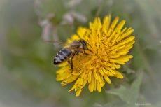 Одуванчик и пчела